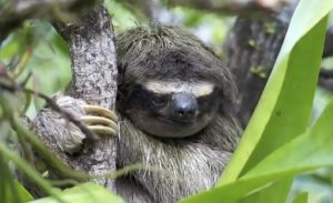 This sloth has experience.
