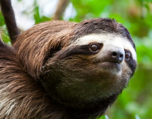 This is the saddest sloth I could find. Sloths don't get gloomy. What is your secret to eternal happiness, sloths?